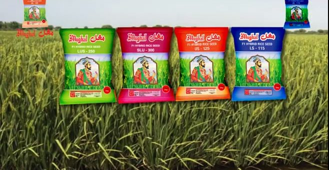 Mughal Rice Seeds (Sindhi TVC) Available Now!